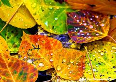 Aspen Leaves & Rain Drops
