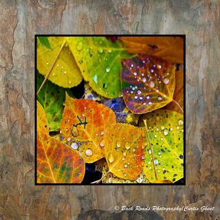 Aspen Leaves and Rain Drops