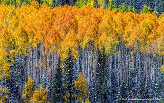Fall Aspens & Snowy Pines