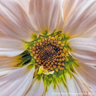 flower, daisy, macro