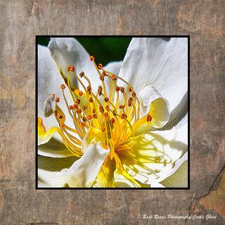 Marsh Marigold Abstract