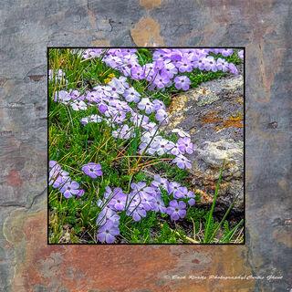 Purple Mountain Phlox