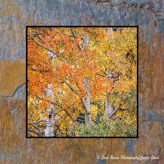 Three Fall Aspens