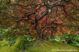 tree, Japanese garden, Portland, oregon