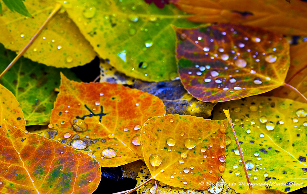 Rain drops add drama to the fall aspen leaves.