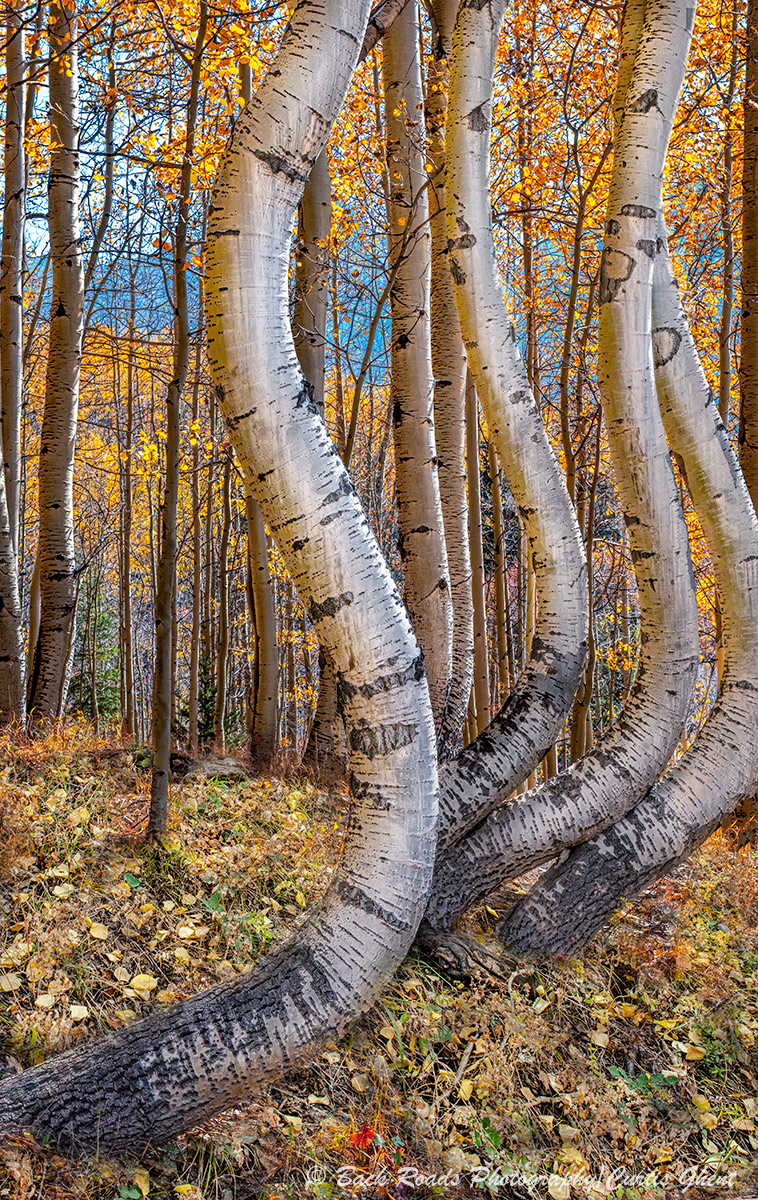 Aspens, Ophir, photo