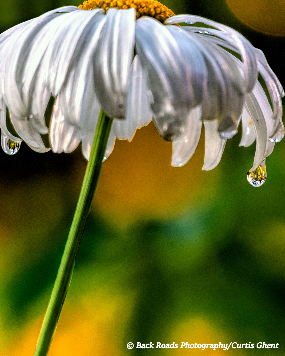 A daisy hold onto a water drop