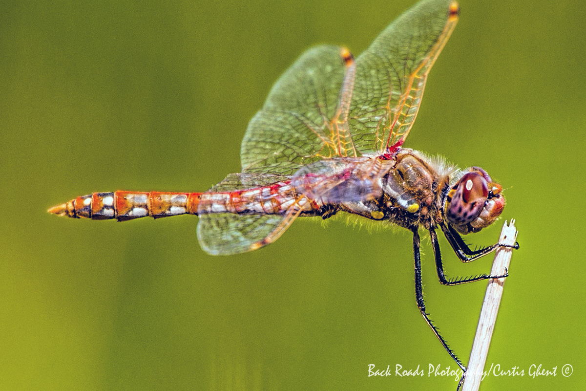 After spending quite a bit of time trying to capture an in focus image of a Dragonfly, this one took a short break on a reed...