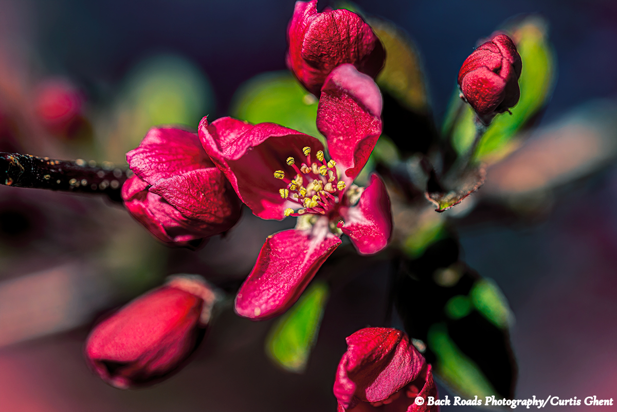 Crab apple blossom taking in the morning sun.