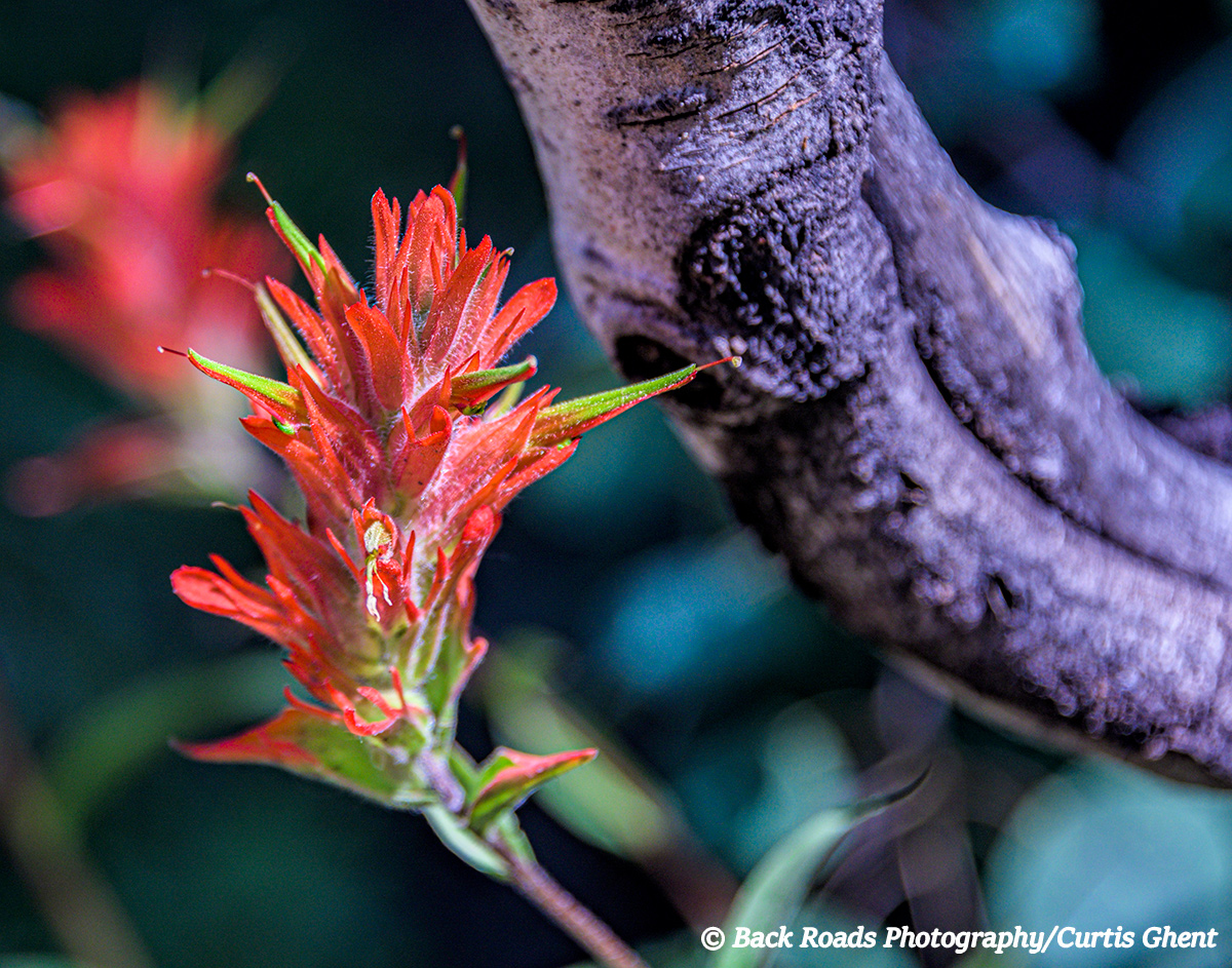 Indian, Crested Butte, Flora, photo