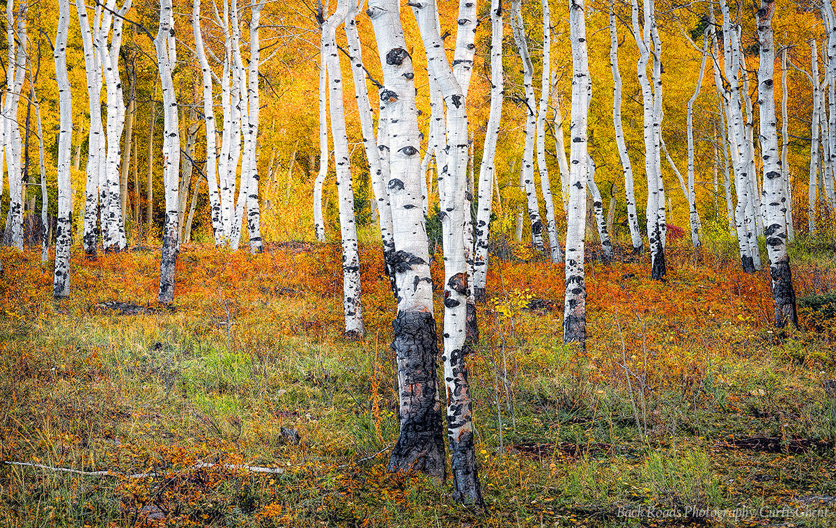 A colorful stand of aspens near Telluride.