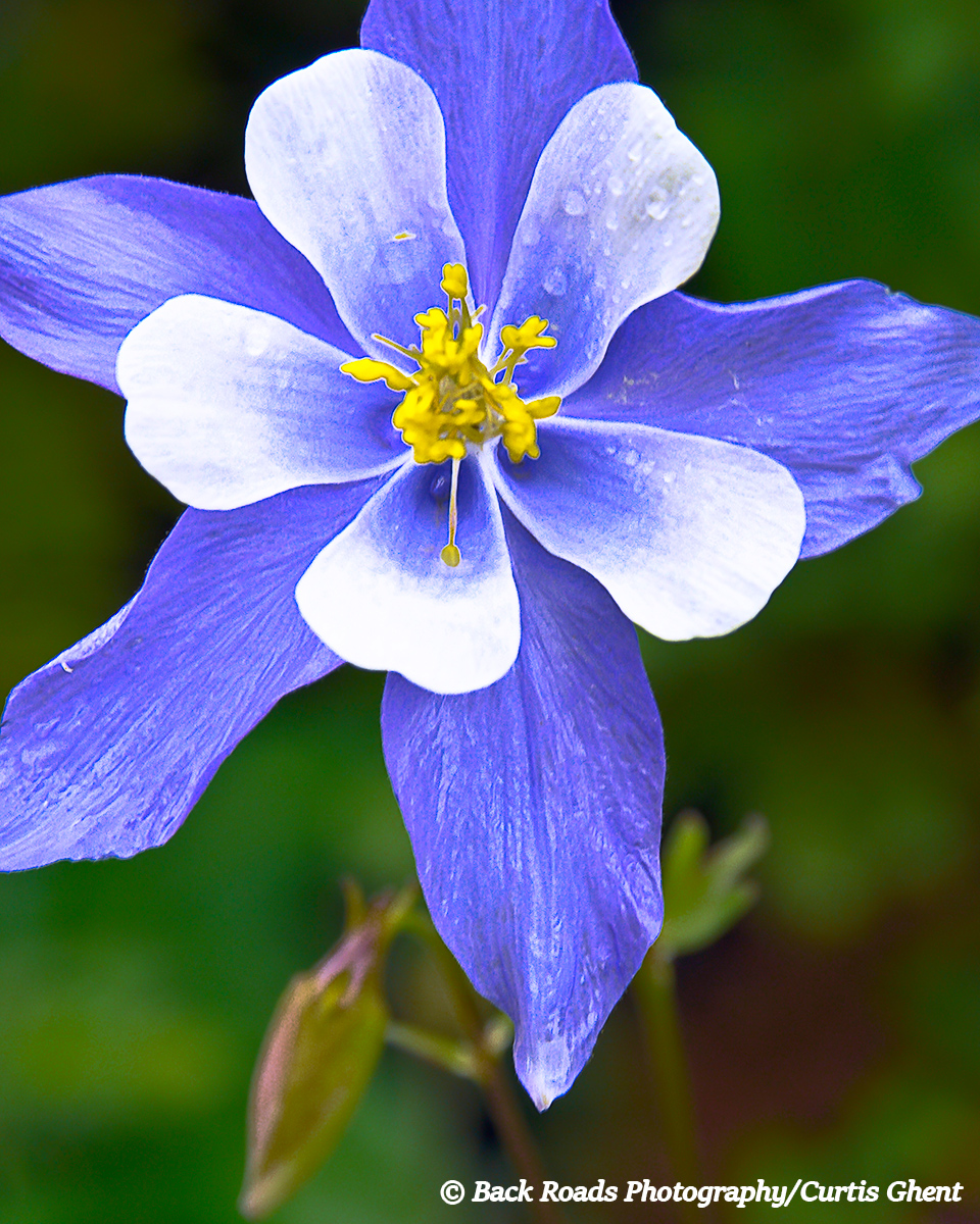 Lone Columbine after the rain.