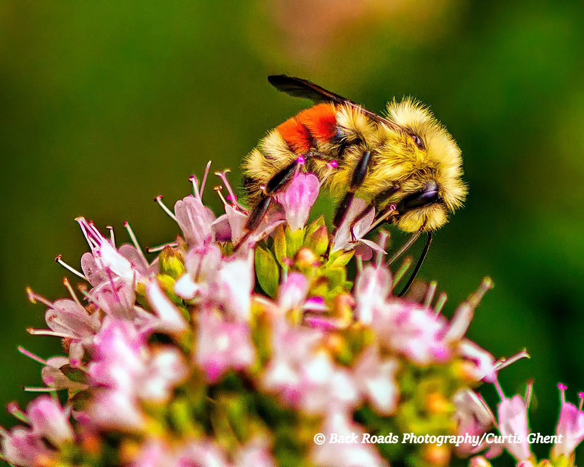A honey bee pollenating a summer flower