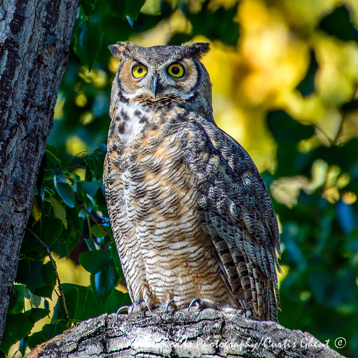 Owl, Wildlife , photo