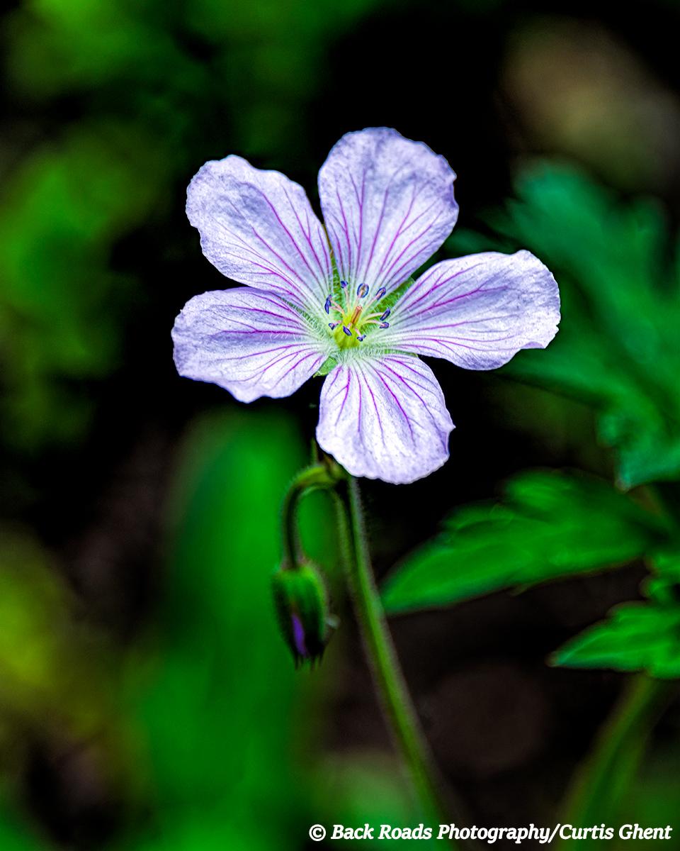 Piney, Wildflower
