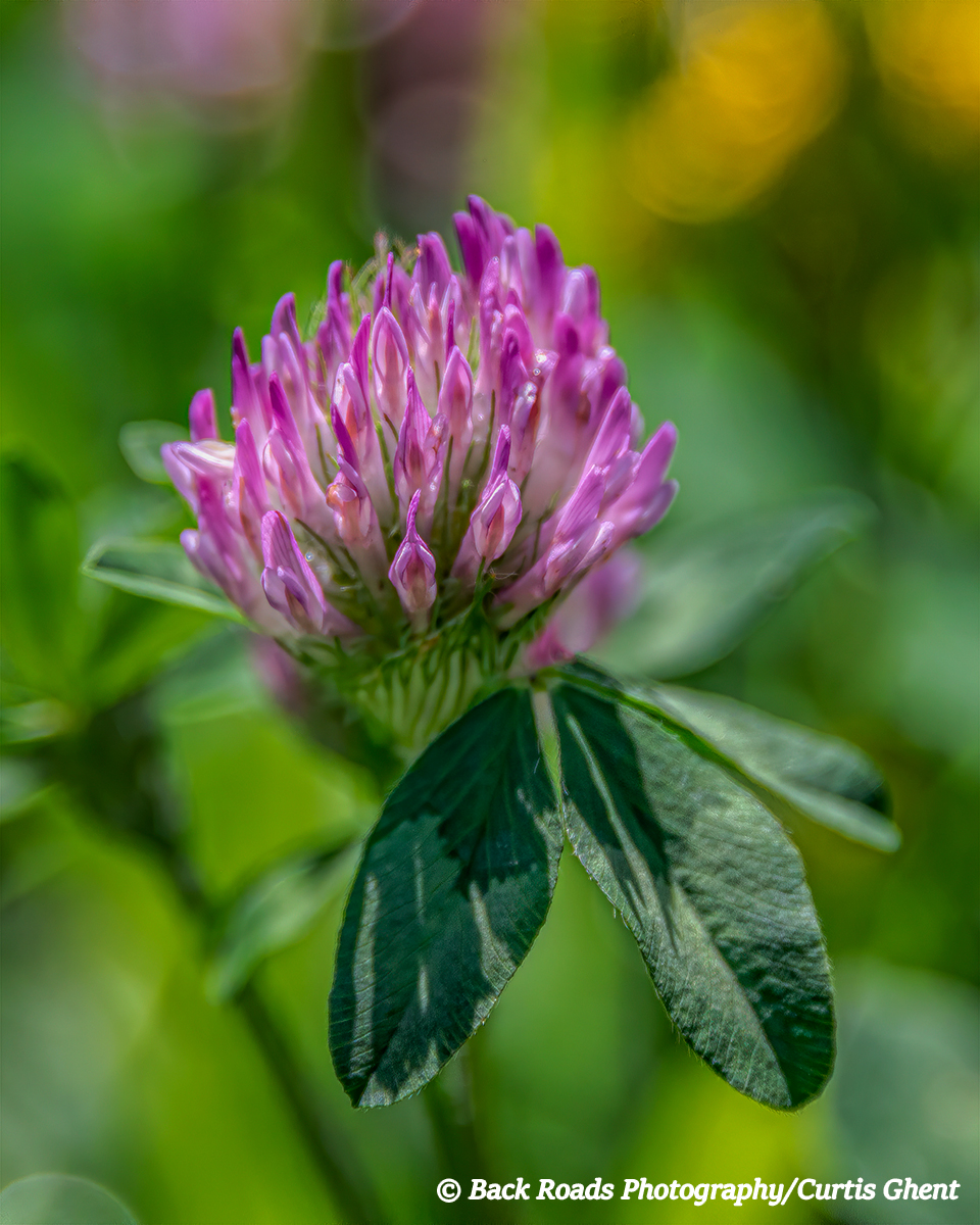 Pink, Clover, Crested Butte