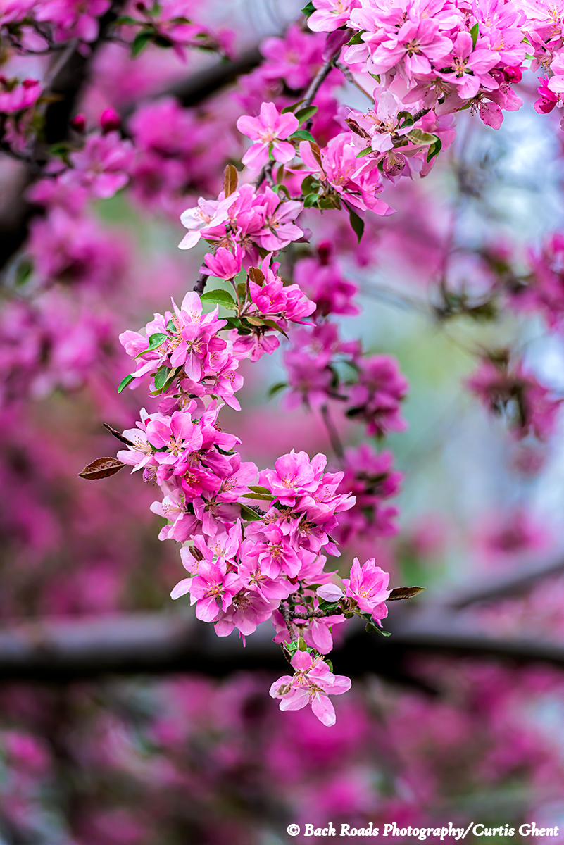 Crabapple blossoms in spring.