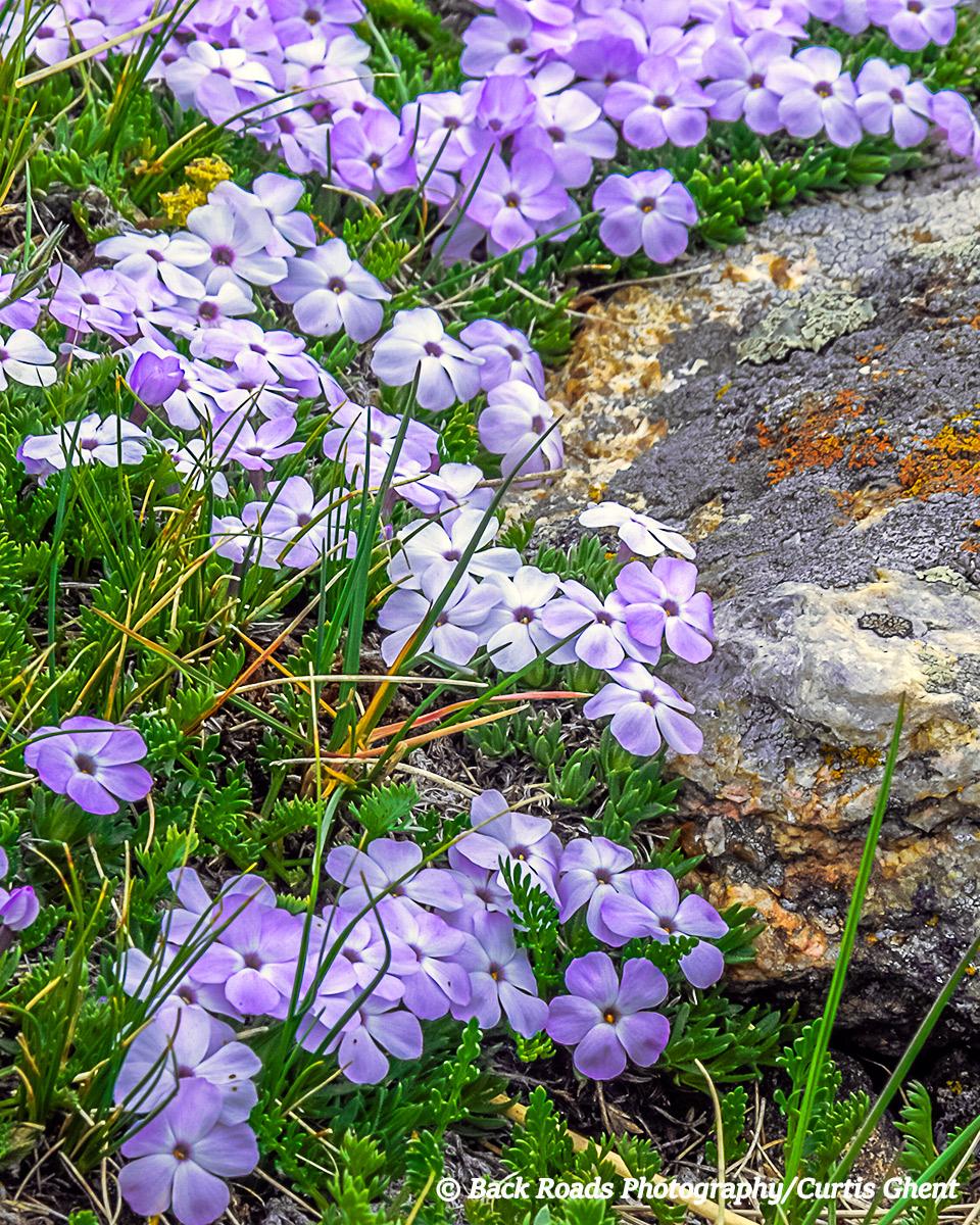In the alpine tundra alpine phlox nestle around rocks.