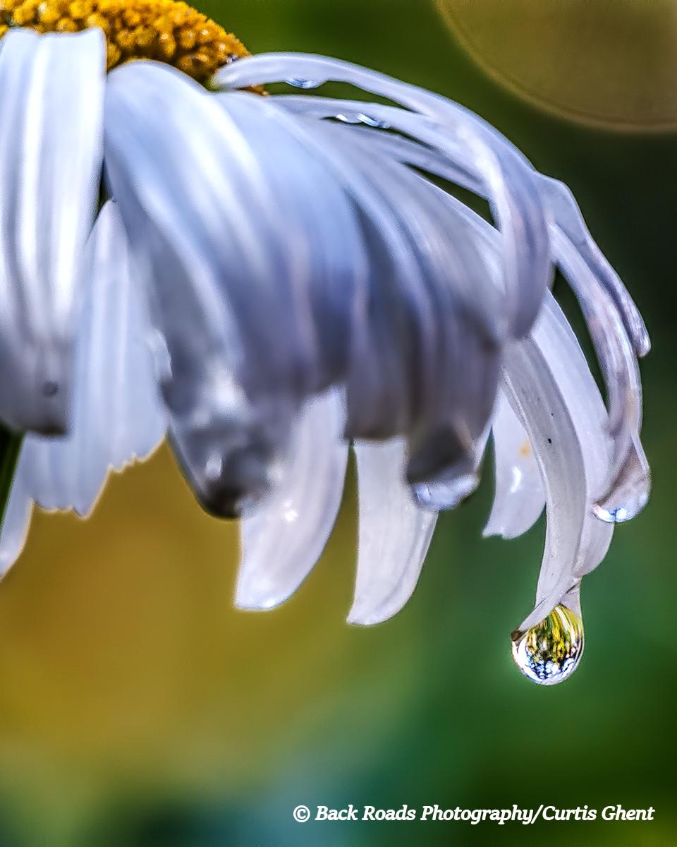 Rain Drop, Daisy, Vail