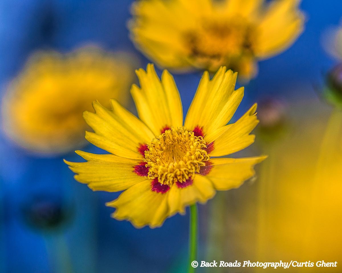 Flower. Yellow, Blue